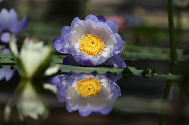 水面で開花を待つ睡蓮の写真