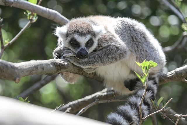 木の上で寝落ちするワオキツネザルの写真