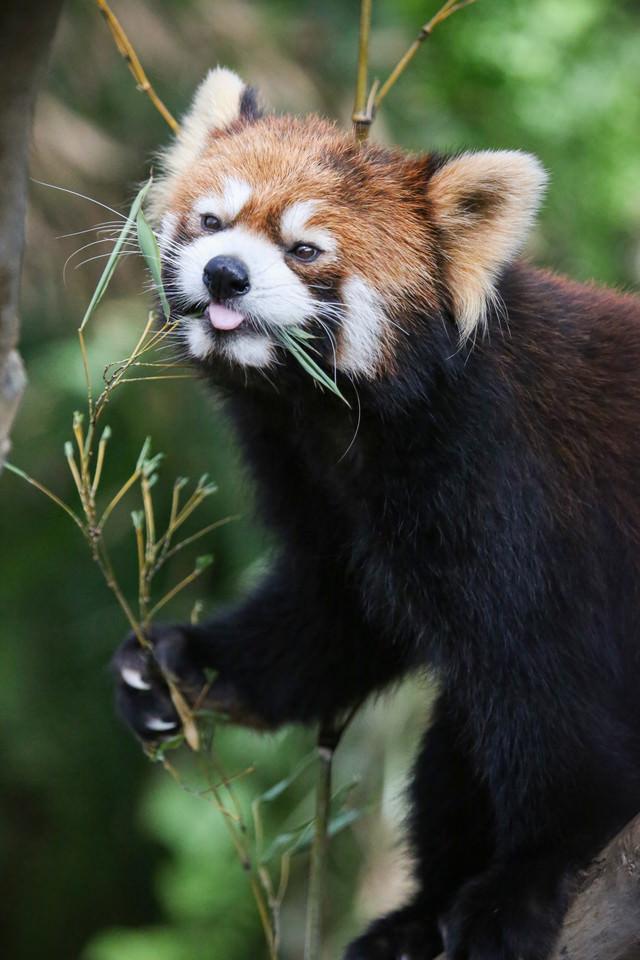 笹をムシャムシャ食べているレッサーパンダの写真