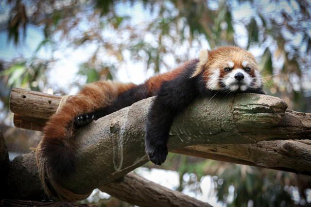 明日から本気出すレッサーパンダの写真