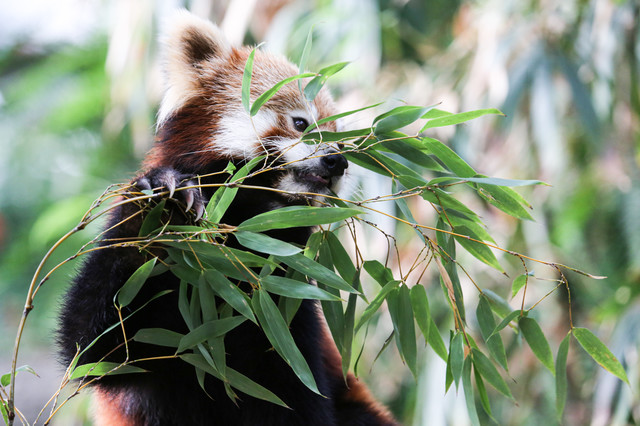 笹を食うレッサーパンダの写真