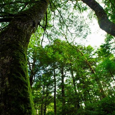 白駒池の苔と原生林の写真