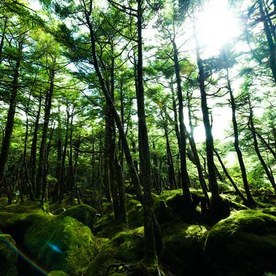 原生林に囲まれた苔の森(白駒)の写真