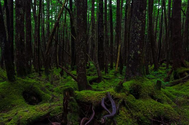 白駒(しらこま)の原生林の写真