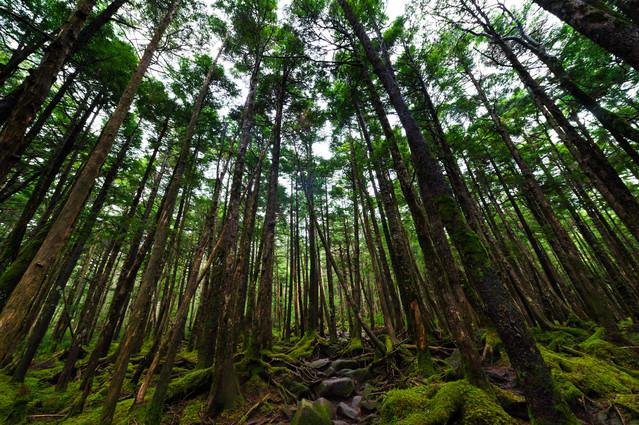 白駒の原生林の写真
