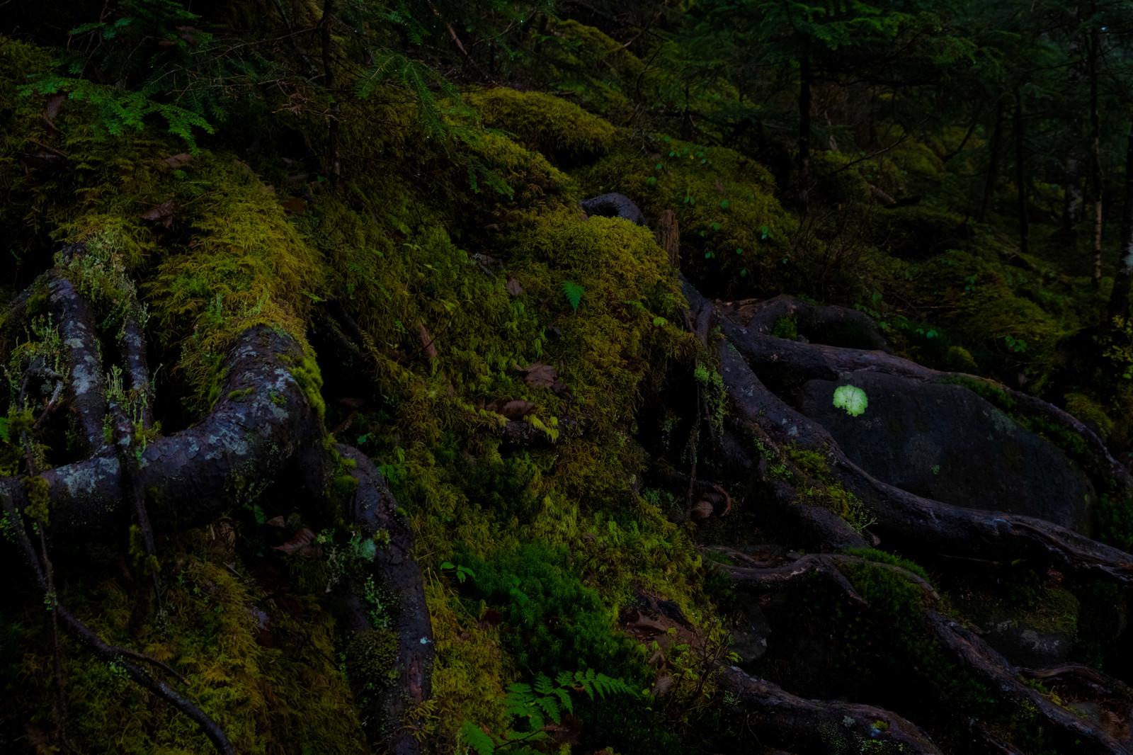 「苔に覆われた原生林」の写真