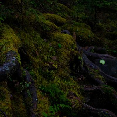 苔に覆われた原生林の写真