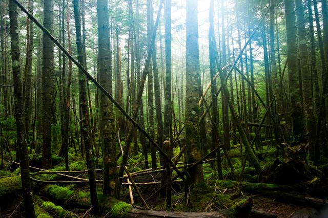 倒木も美しい白駒の原生林の写真