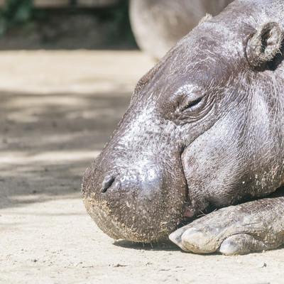 「寝落ちカバ」の写真素材