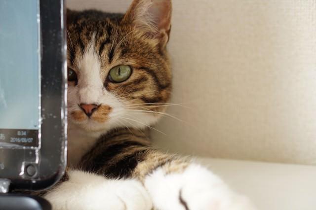 PCモニターの後ろに隠れるキジ猫の写真