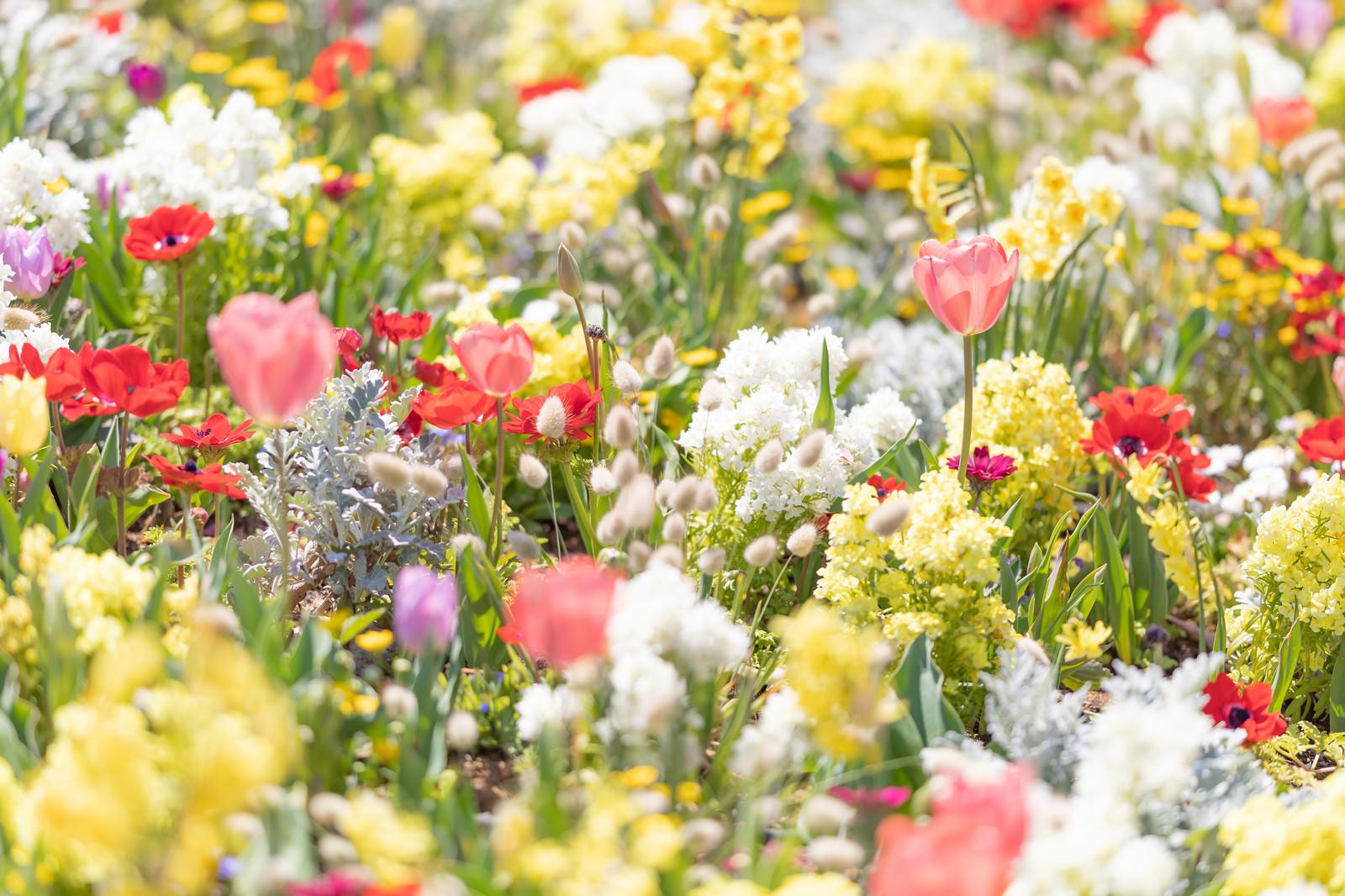 「チューリップなどが咲く花壇」の写真