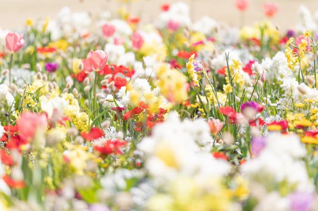 一面の春爛漫の写真
