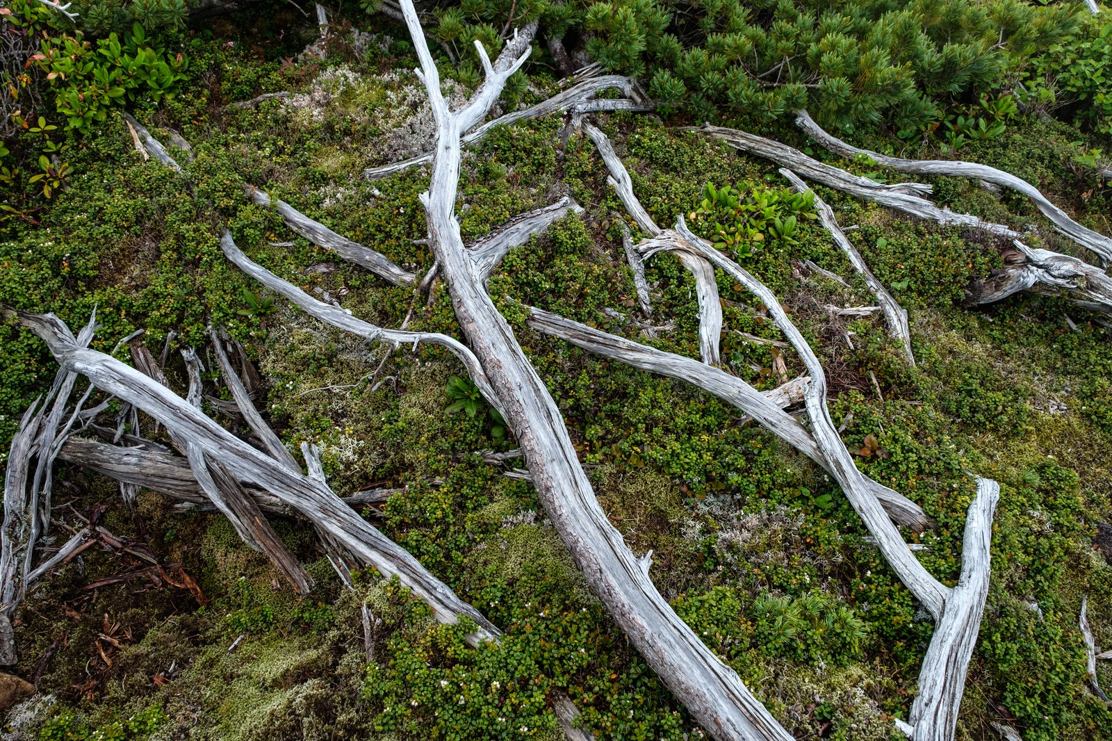 「乗鞍新登山道の倒木」の写真