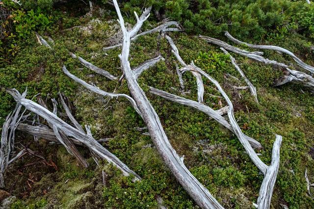 乗鞍新登山道の倒木の写真