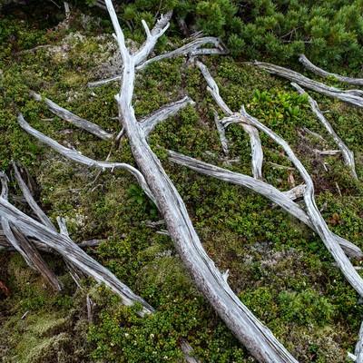 「乗鞍新登山道の倒木」の写真素材