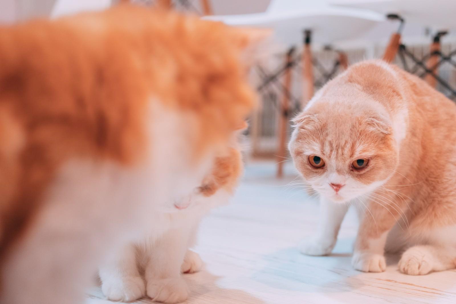 「睨みを利かせる猫(スコティッシュフォールド)」の写真