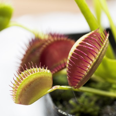 「食虫植物ハエトリソウ」の写真素材