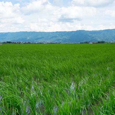 初夏の水田の写真