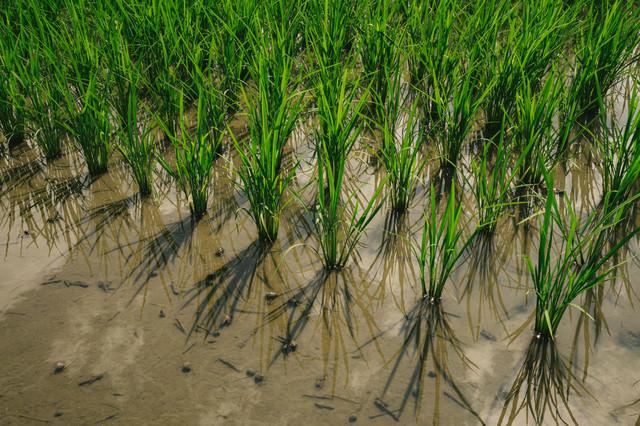 田植え後の稲の写真