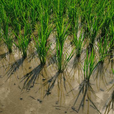 「田植え後の稲」の写真素材