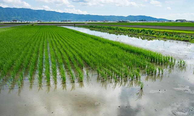 稲が植えられた田んぼの写真