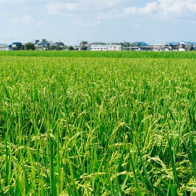 「大刀洗の稲(田んぼ)」の写真素材