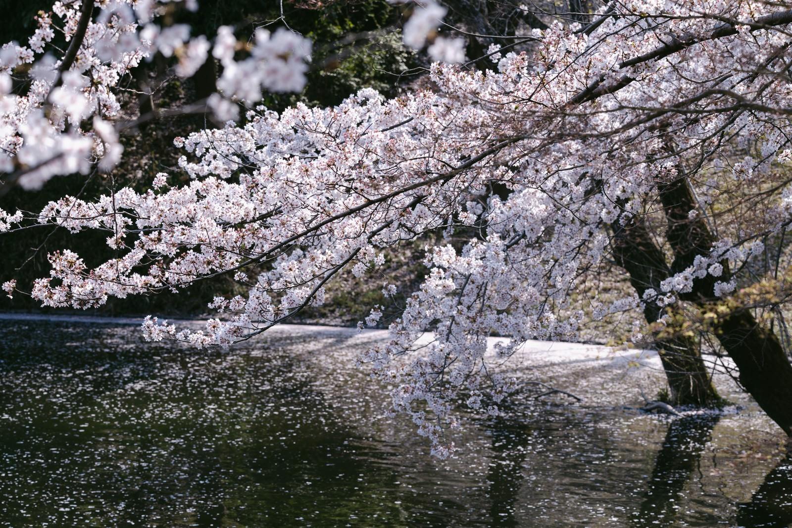 「川越の桜」の写真