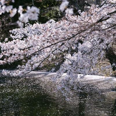 川越の桜の写真