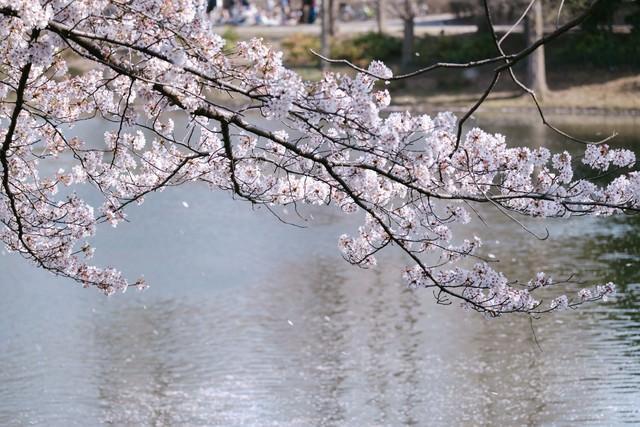 春風と川越の桜の写真