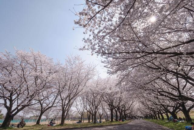 桜並木と花見を楽しむ人たちの写真