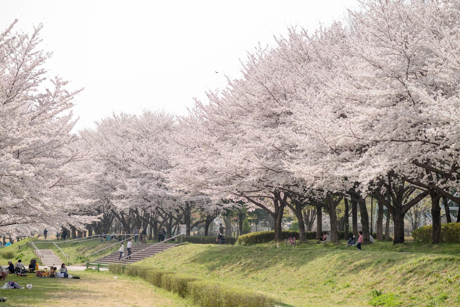 「満開の桜並木と花見人」の写真