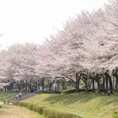 満開の桜並木と花見人の写真