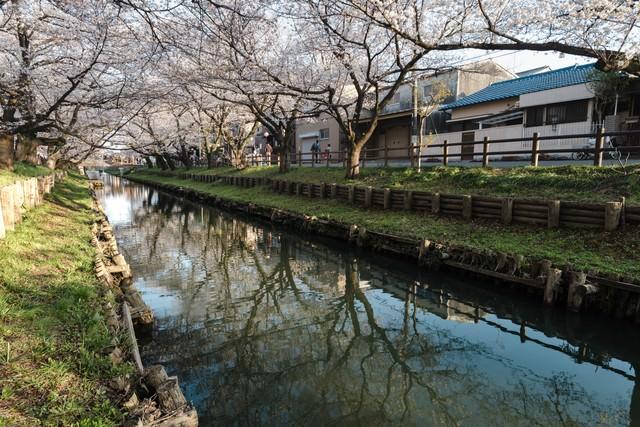 桜トンネル(新河岸川)の写真