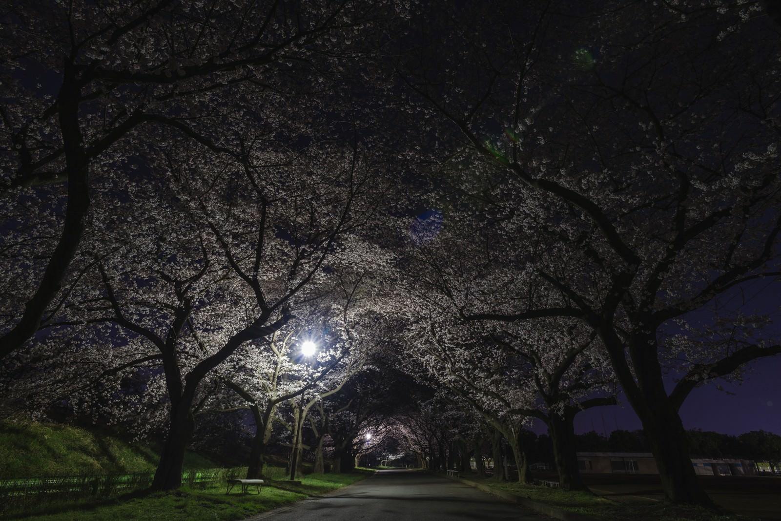 「夜桜トンネル夜桜トンネル」のフリー写真素材を拡大