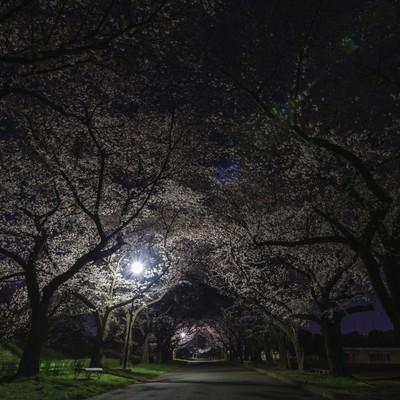 夜桜トンネルの写真