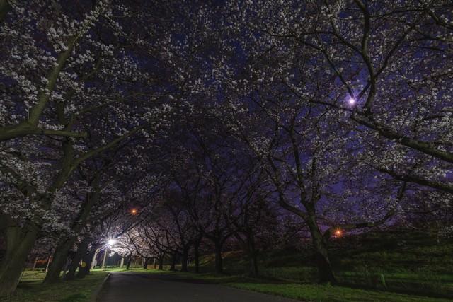 夜桜並木の写真