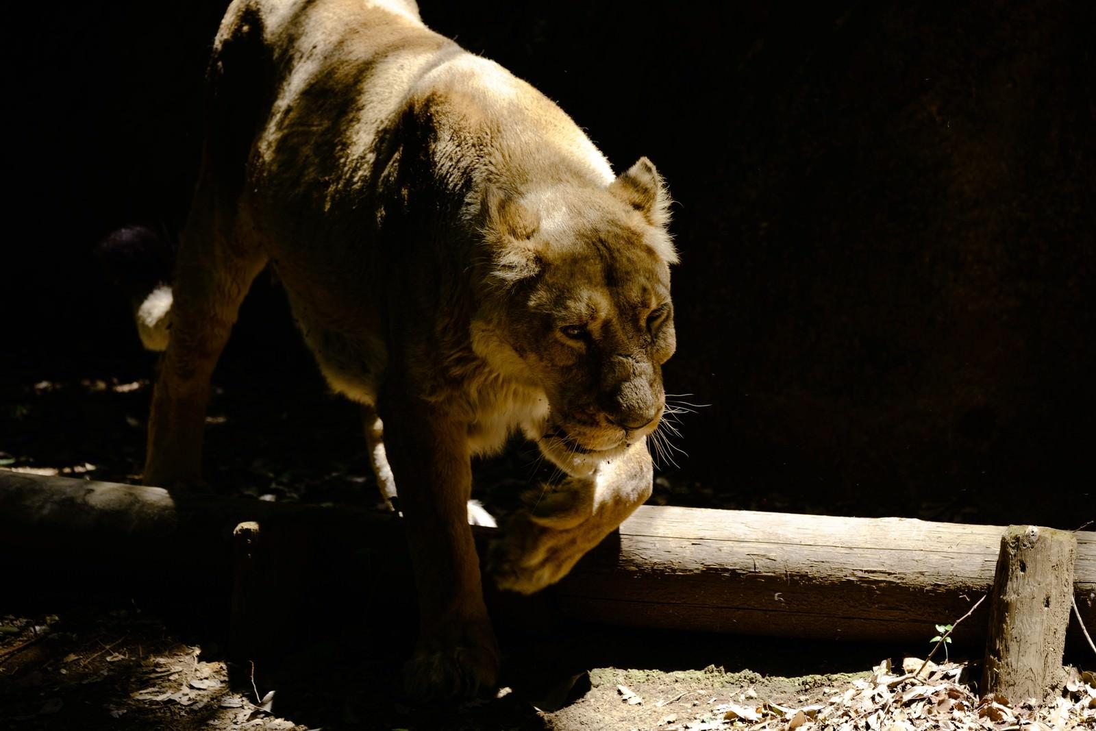 「暗闇から突然現れる猛獣(ライオン♀)」の写真