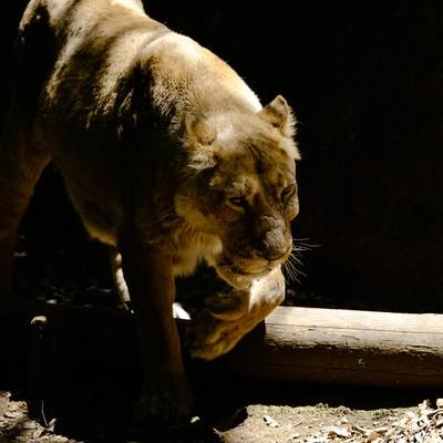 暗闇から突然現れる猛獣(ライオン♀)の写真