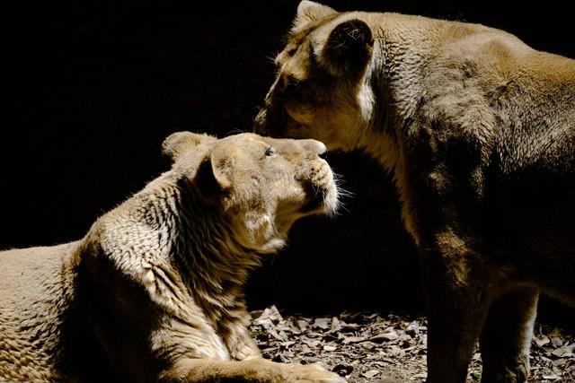 何かを囁きあう猛獣(ライオン♀)の写真