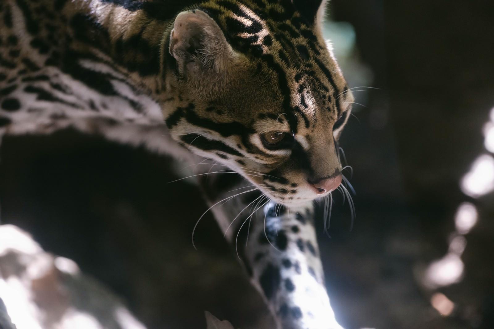 「しなやかななオセロット(猫)しなやかななオセロット(猫)」のフリー写真素材を拡大