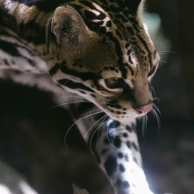 しなやかななオセロット(猫)の写真