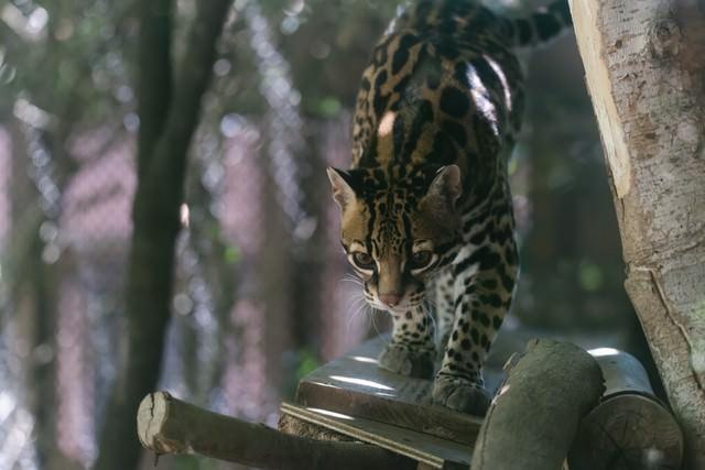 何かを見つけてソロリと近づくオセロット(ネコ科)の写真