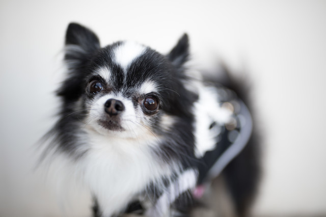 警戒する小型犬(チワワ)の写真