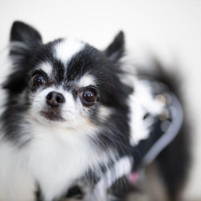 「警戒する小型犬(チワワ)」の写真素材