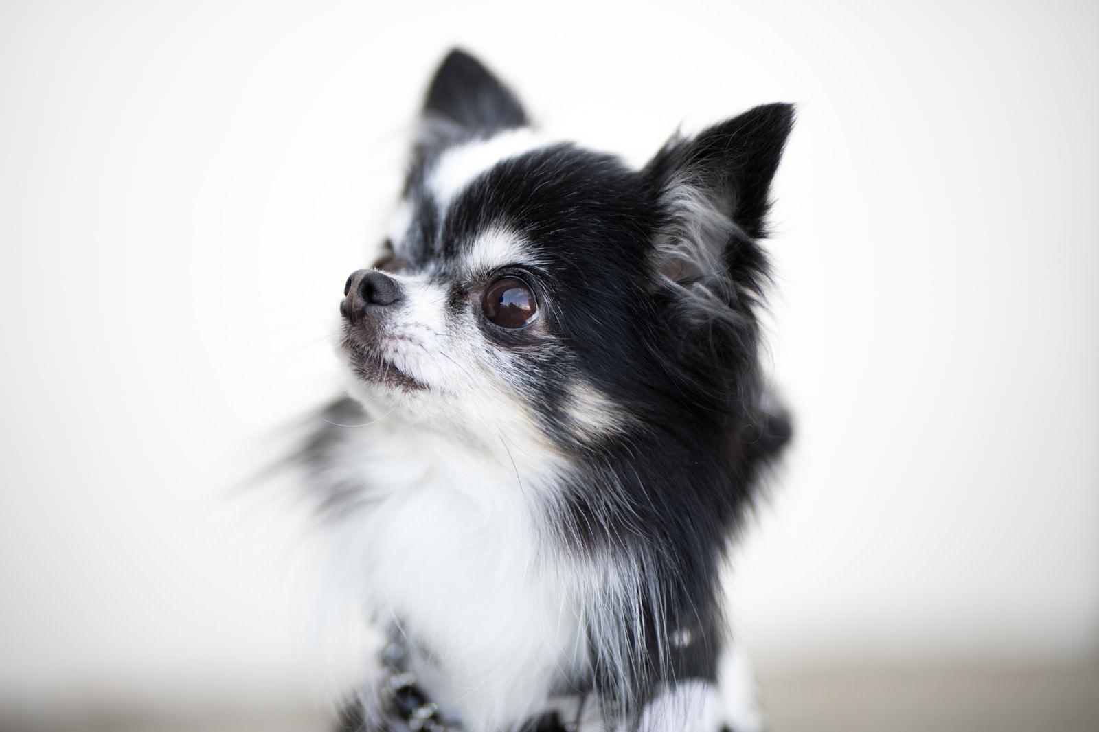 小型犬 チワワ の愛くるしい表情 無料の写真素材はフリー素材のぱくたそ