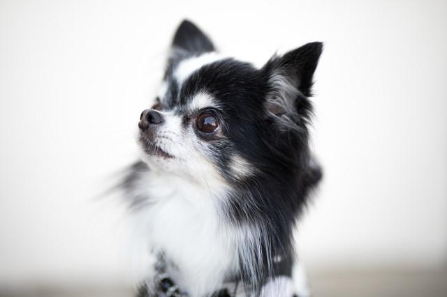 小型犬(チワワ)の愛くるしい表情の写真
