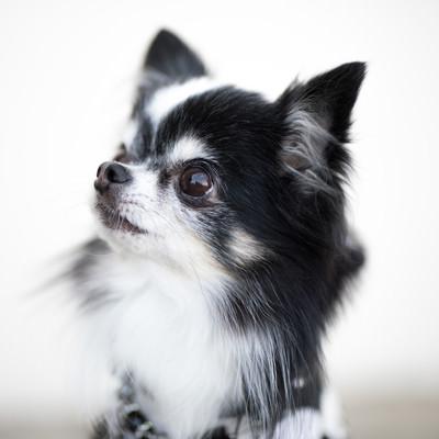 「小型犬(チワワ)の愛くるしい表情」の写真素材
