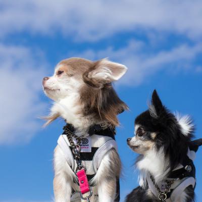 「今からあれ(フリスビーを投げてキャッチするやつ)をやると言われて傍観する犬二匹」の写真素材