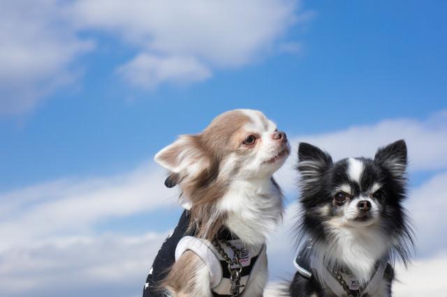 外へ散歩に出かけても、躾がしっかりしているチワワ(2匹)の写真