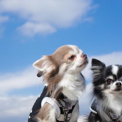「外へ散歩に出かけても、躾がしっかりしているチワワ(2匹)」の写真素材